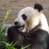Ocean Park: Panda