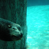 Ocean Park: Sea Lions - he's swimming with his eyes closed